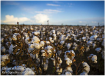 Cotton at Fisher Delta by Kyle Spradley on CC Flikr